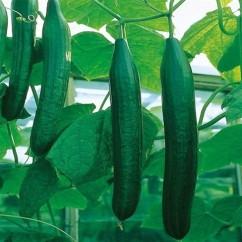 kasvihuonekurkku Burpless Tasty Green