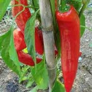 paprika Marconi Rosso Sweet