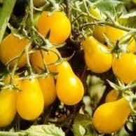 päärynänmuotoinen tomaatti Yellow Pear